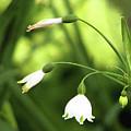 Spring Snowdrops by Patricia Fatta