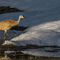 Spring Sunset With Sandhill Crane by Yeates Photography