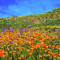 Spring Superbloom In Walker Canyon by Lynn Bauer