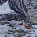 Spring Thaw - American Robin by Craig Carlson