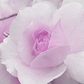 Spring Time With Lavender Rose by Lena Photo Art