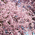 Spring Trees Art Prints Pink Springtime Blossoms Baslee Troutman by Baslee Troutman