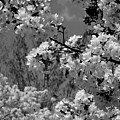 Spring Trees - B And W by Arlane Crump