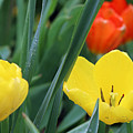 Spring Tulips 144 by Pamela Critchlow