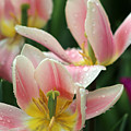 Spring Tulips 152 by Pamela Critchlow