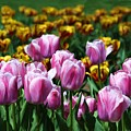 Spring Tulips 2 by Jim  Darnall