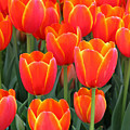 Spring Tulips 210 by Pamela Critchlow