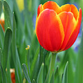 Spring Tulips 214 by Pamela Critchlow