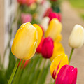 Spring Tulips by Beverly Tabet