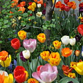 Spring Tulips by Denise Laurin