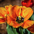 Spring Tulips by Jen Manganello