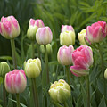 Spring Tulips by Monique Cousineau