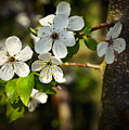 Spring Twig With White Florets by Jozef Jankola