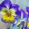 Spring Violas by Susan Garver