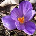 Spring Violet by Joshua Bales