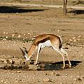 Springbok by Davide Guidolin