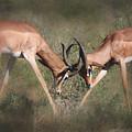Springbok Samburu Kenya by Joseph G Holland