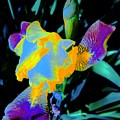 Springtime Abstract Iris by Tim G Ross