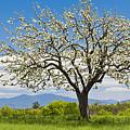 Springtime Apple Tree Panorama by Alan L Graham