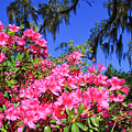 Springtime Azaleas by Jill Lang