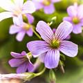 Springtime Blooms Violet Wood Sorrel 3 by Debra Forand