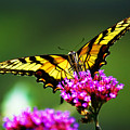 Springtime Butterfly by Nick Zelinsky