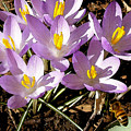 Springtime Crocuses  by Michelle Calkins