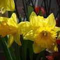 Springtime Daffodils by Devon Kotke