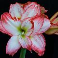 Springtime Florida Amaryllis by Allan  Hughes