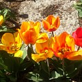 Springtime Flowers by Rachel Maynard