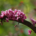 Springtime Forest Pansy Redbud Branch by Anna Lisa Yoder
