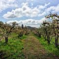 Springtime In The Apple Grove by Douglas Craig