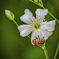 Springtime Ladybug by Mitch Shindelbower