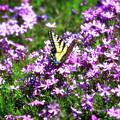 Springtime Phlox by Jill Lang
