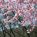 Springtime Seasonal Pink Blossom Flowers Baslee by Baslee Troutman