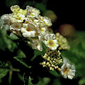 Sprinkles On Lantana Flower by Michelle Meenawong
