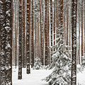 Spruce Among The Pines by Sergei Dolgov