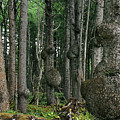 Spruce Burls Olympic National Park Wa by Christine Till