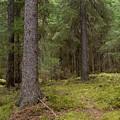 Spruce Forest  by Jouko Lehto