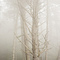 Spruce In The Fog by Robert Potts