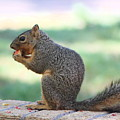 Squirrel Eating Crab Apple by Colleen Cornelius