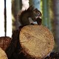 Squirrel Eating Pinecones by Lori Mahaffey