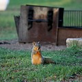 Squirrel In Campsite   by Christy Pooschke
