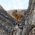 Squirrel In Cottonwood Tree by Gerri Duke