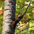 Squirrel In Fall by John Ricker