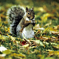 Squirrel In Leaves by Steve Somerville