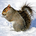 Squirrel In Winter by Cristina Stefan