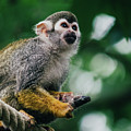 Squirrel Monkey Looking Up by Pati Photography