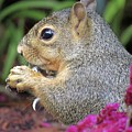 Squirrel - Morning Snack 02 by Pamela Critchlow