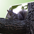 Squirrel On A Limb by Brian Wallace